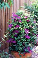 Clematis PICARDY Evipo024